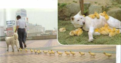 Little ducks believe a dog is their mother